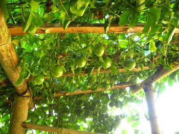 Passionfruit-2009sfw