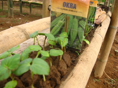 Okra seedlings 2009