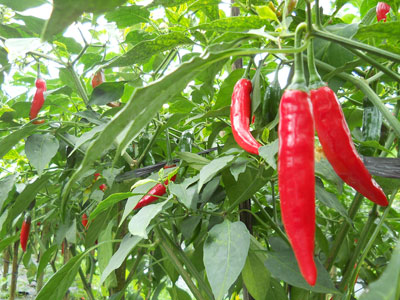 Local-red-chili